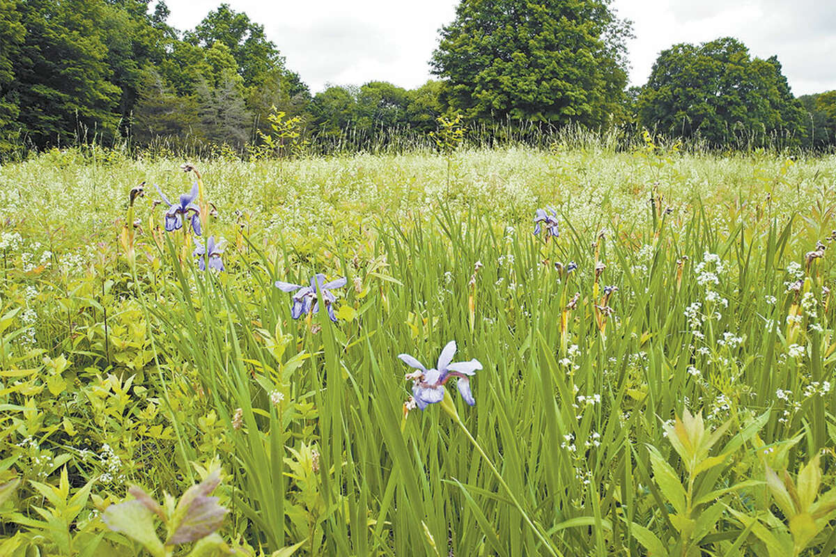 The Board of Selectmen is supporting the Wilton Conservation Land Trust in its efforts to purchase 183 Ridgefield Road. Blue flag iris is among the plants native to North America growing on the property. - Jeannette Ross photo