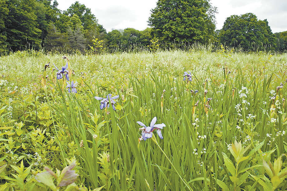 The Board of Selectmen is supporting the Wilton Conservation Land Trust in its efforts to purchase 183 Ridgefield Road. Blue flag iris is among the plants native to North America growing on the property. — Jeannette Ross photo