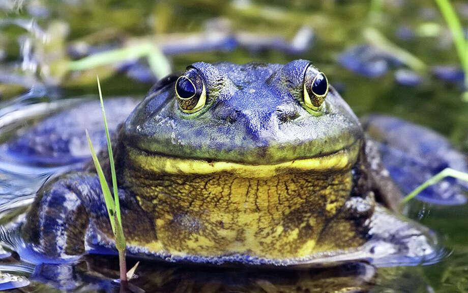 The American bullfrog.
