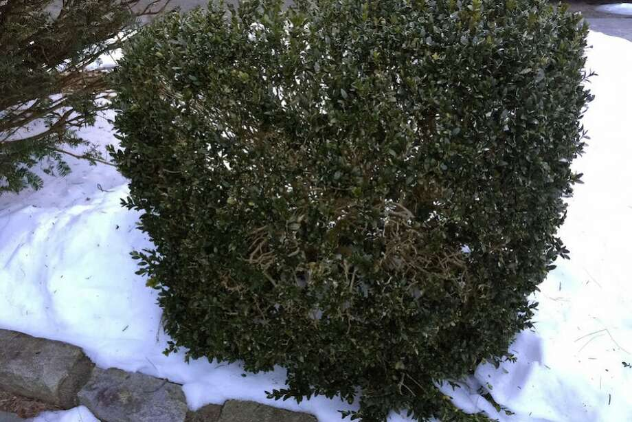 Boxwoods, such as this one, are at risk to get boxwood blight.
