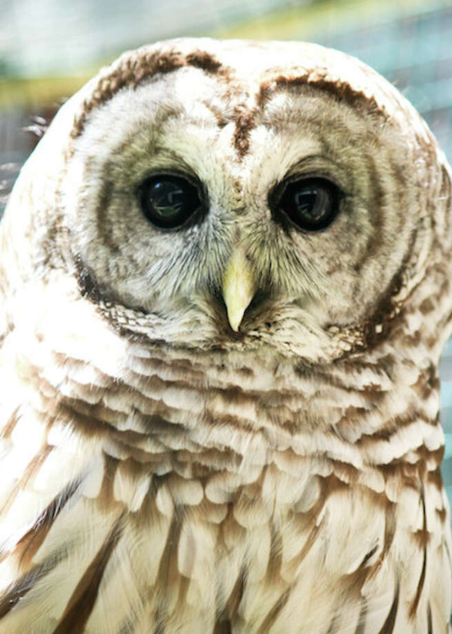 Clack is a resident barred owl at Woodcock Nature Center. — Jennifer Bradshaw photo