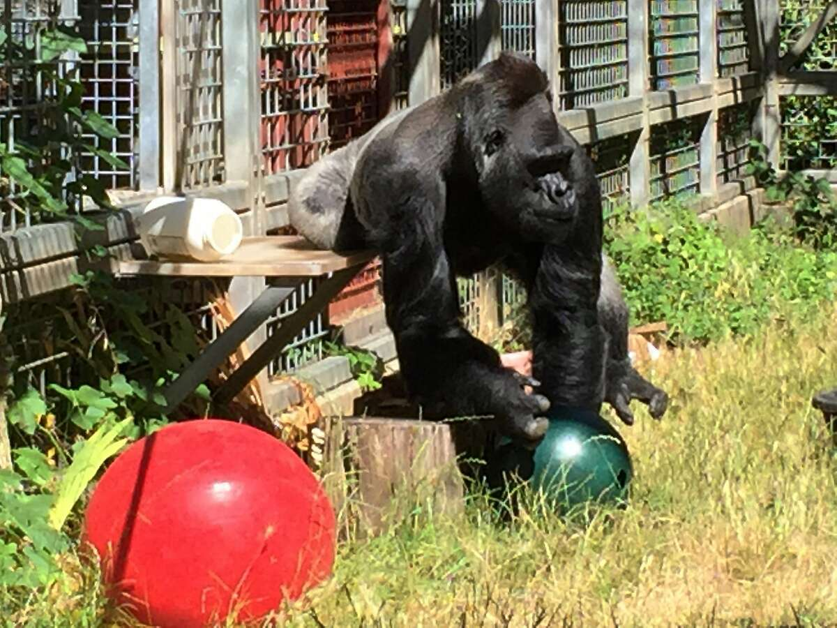 FILE - In this 2016 file photo provided by the Cincinnati Zoo and Botanical Garden, the silverback gorilla Ndume picks up a toy at The Gorilla Foundation's preserve in California's Santa Cruz mountains. Documents in federal court in San Francisco show that The Gorilla Foundation balked at a June 4, 2019 return requested by the Cincinnati Zoo & Botanical Garden, saying Ndume has a bacterial infection that could worsen during a stressful move. (Ron Evans/Cincinnati Zoo and Botanical Garden via AP, File)