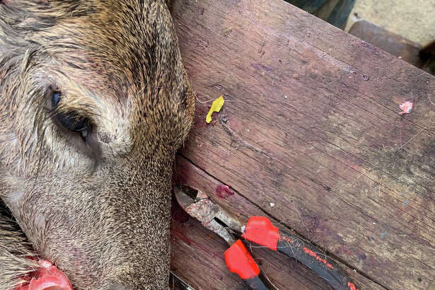 The head of a hunted deer lies on a table during an inspection by Pennsylvania wildlife biologists.