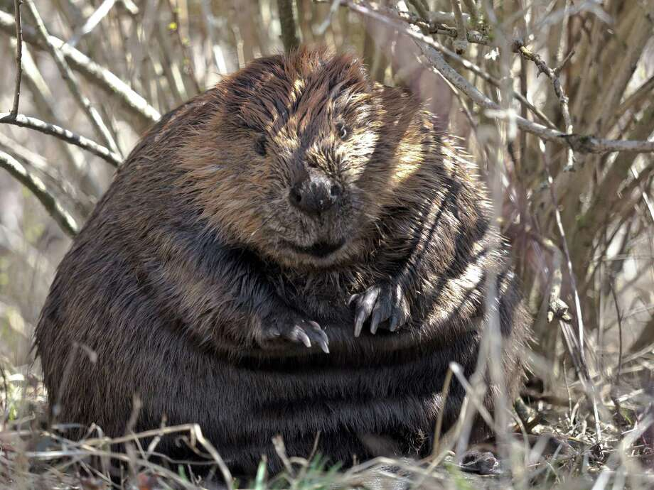 One of the Bantam River beavers. Naturalists Megan Lutz and Greg Bernard will talk at the Woodbury Library about the colony's life and adverntures. Photo: Contributed Photo