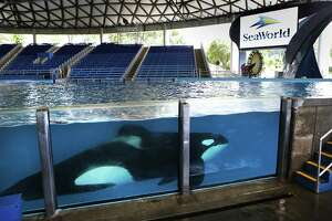 """One of the killer whales at SeaWorld San Antonio swims in Shamu Theater during an """"open viewing"""" at """"One Ocean"""", on May 20, 2016. SeaWorld has ended its breeding program."""