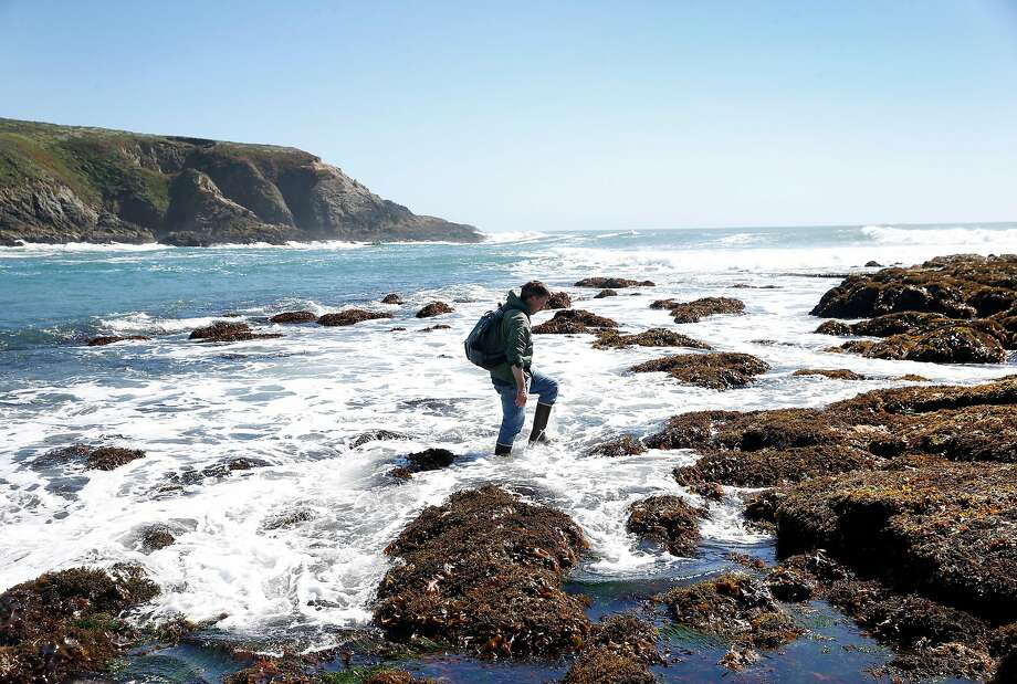 Sanford wades in the surf, left, to observe tide pools in Bodega Bay, where he found a nudibranch in a mussel shell, center. At right, Sanford views a scarlet sea cucumber through a microscope at the Bodega Marine Lab, where he researches climate change's impact on intertidal zones. Photo: Paul Chinn / The Chronicle
