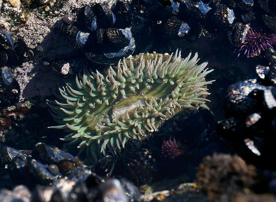 An anemone is visible at low tide at the UC Davis Bodega Marine Laboratory in Bodega Bay, Calif. on Wednesday, April 17, 2019. Marine biologist Eric Sanford is researching the impacts that climate change is having within intertidal zones. Photo: Paul Chinn / The Chronicle