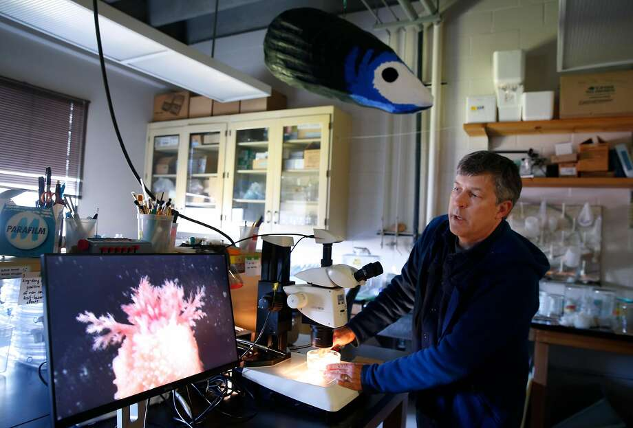 Marine biologist Eric Sanford views a scarlet sea cucumber through a microscope at the UC Davis Bodega Marine Laboratory in Bodega Bay, Calif. on Wednesday, April 17, 2019. Sanford's research is examining the impacts that climate change is having within intertidal zones. Photo: Paul Chinn / The Chronicle