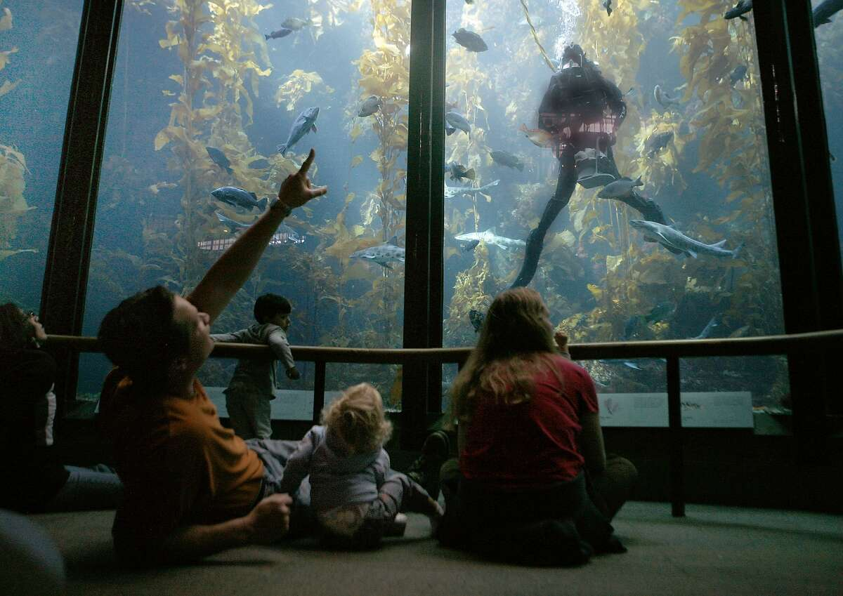 Families relax and enjoy feeding time in the kelp forest aquarium at The Monterey Bay Aquarium September 28, 2009. The Monterey Bay Aquarium is celebrating its 25th anniversary but to the jellyfish, seahorses, otters, sharks and penguins, it's just another day at the office. (Mark Boster/Los Angeles Times)