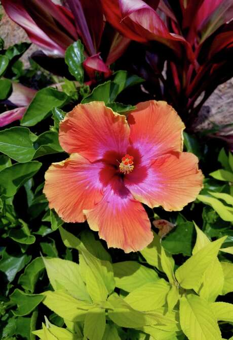 This bed with Fiesta hibiscus, Hawaiian Ti plants and Golden Delicious pineapple sage is a feast of the senses. (Norman Winter/TNS)