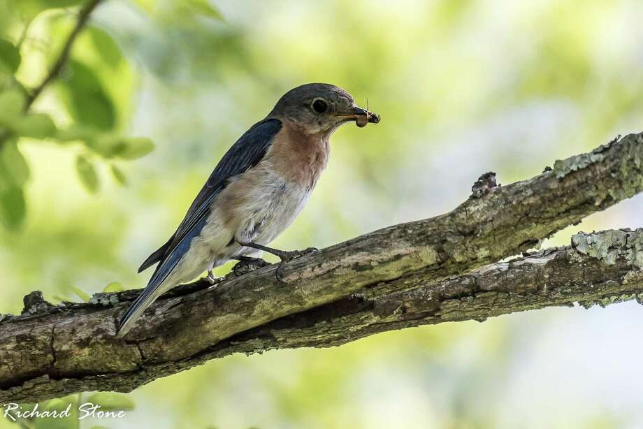 A bluebird dines at Deer Pond Farm park. Photo: Contributed Photo / Richard Stone