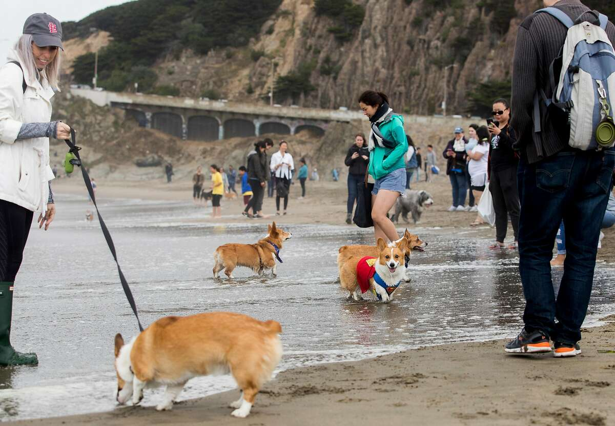 A group of corgis play together in the water during the annual Corgi-Con at Ocean Beach in San Francisco, Calif. Saturday, June 15, 2019.