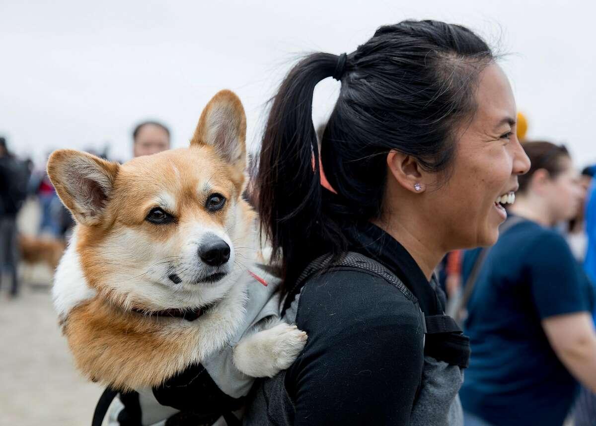 Penny Morris carries her corgi, Leonardo de Corgio on her back during the annual Corgi-Con at Ocean Beach in San Francisco, Calif. Saturday, June 15, 2019.