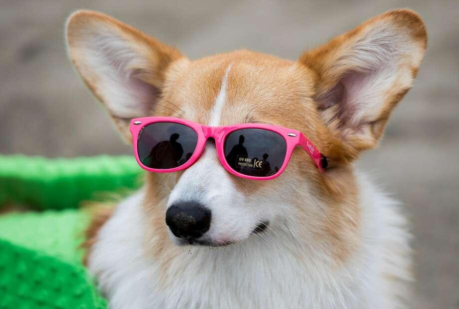Pickles the corgi sports sunglasses. Photo: Jessica Christian / The Chronicle