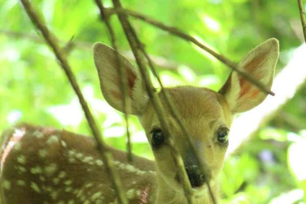 Yesterday we saw the youngest fawn at Peebles Island State Park. It still had wobbly legs and was calling out to its mother. Then it suddenly walked right up to us and was for a second nose-to-nose with our dog Gracie. I was so surprised that I only got this one blurry photo of it. (Dennis J. Coyle)