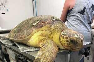 Captain is a sub adult Loggerhead sea turtle who was brought into care on May 19, 2019 from Bob Hall Pier, after swallowing a large fishing hook.   Source: Texas Sealife Center