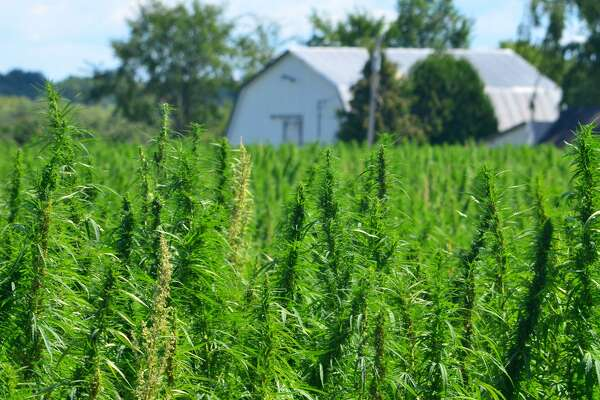 Texas farmers ready for catch-up mode in global hemp race
