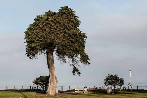 This is the tree in La Jolla, California, that apparently inspired The Lorax.