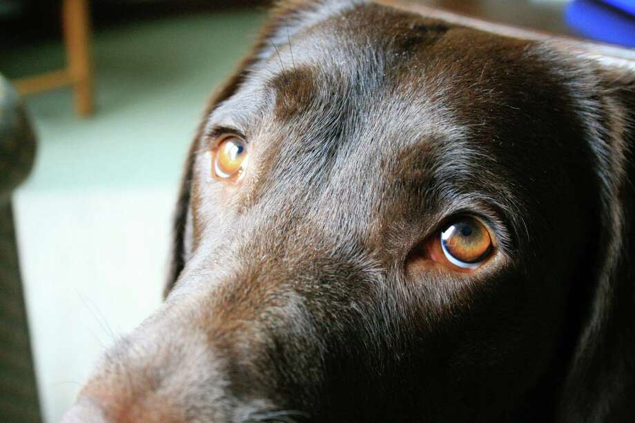 """An adult dog named Baska raises her inner eyebrows, making what people think of as """"puppy-dog eyes."""" Photo: Courtesy Of The University Of Portsmouth / Handout"""