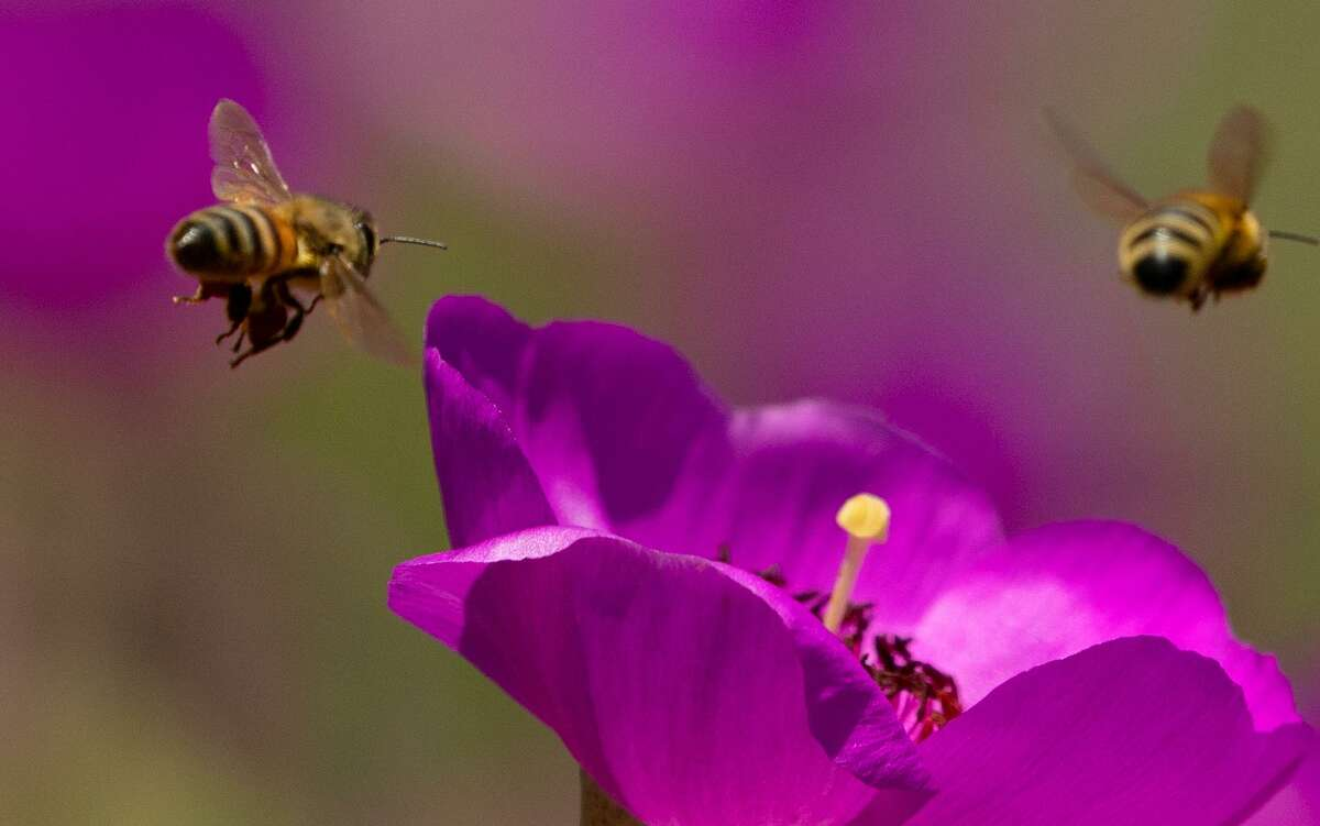 File photo of honey bees collecting pollen.