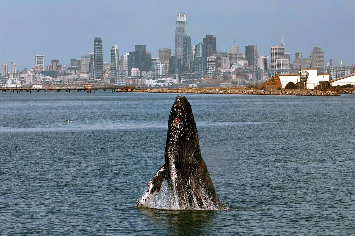 A humpback whale breaches in the San Francisco Bay off Ferry Point near the USS Hornet - Sea, Air and Space Museum in Alameda, California on Wednesday, June 12, 2019. Photo by Susie Kelly