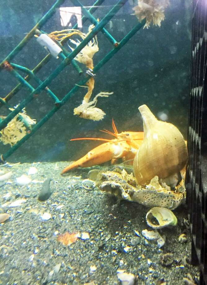 Four rare yellow/orange lobsters showed up in the seafood tanks at Cromwell Stop & Shop over the last couple weeks Staff named them Larry, Curly and Moe. Photo: Contributed Photo