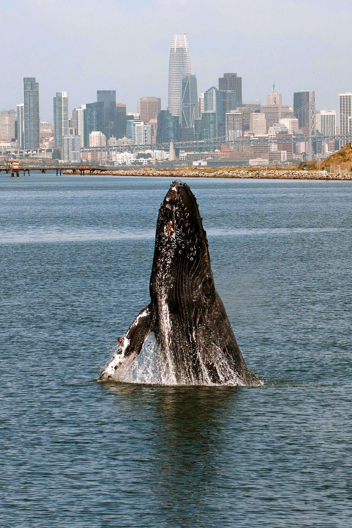 RESTRICTIONS - PLEASE REACH OUT TO SF CHRONICLE BEFORE PUBLISHING PHOTO A humpback whale breaches in the San Francisco Bay off Ferry Point near the USS Hornet - Sea, Air and Space Museum in Alameda, California on Wednesday, June 12, 2019. Photo by Susie Kelly
