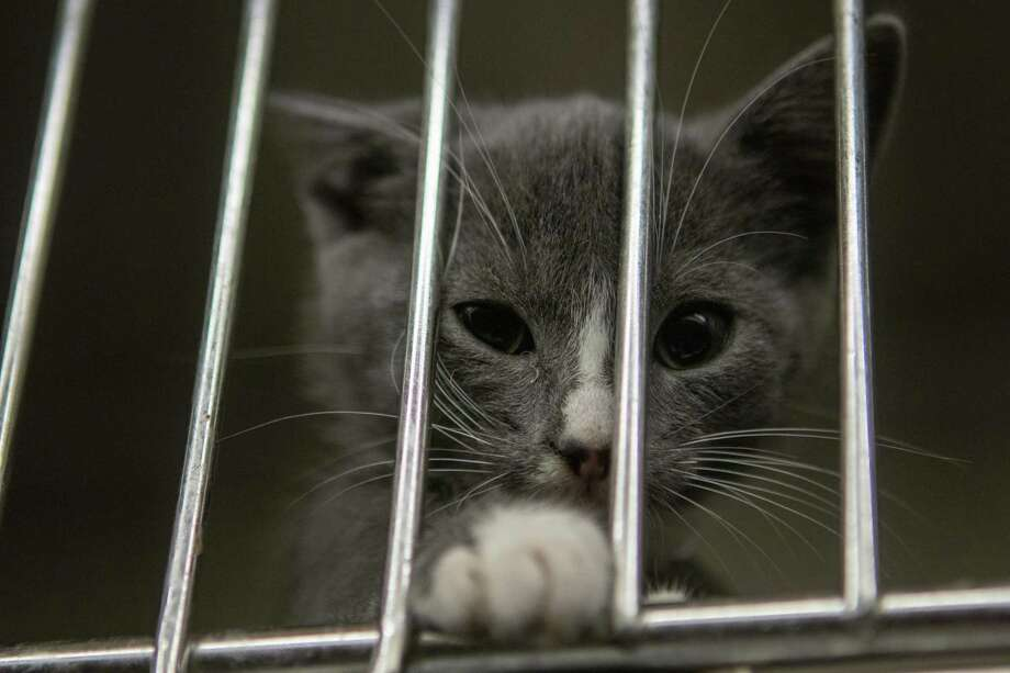 A kitten paws for attention Tuesday, June 18, 2019 at the Montgomery County Animal Shelter in Conroe. Photo: Cody Bahn, Houston Chronicle / Staff Photographer / © 2019 Houston Chronicle