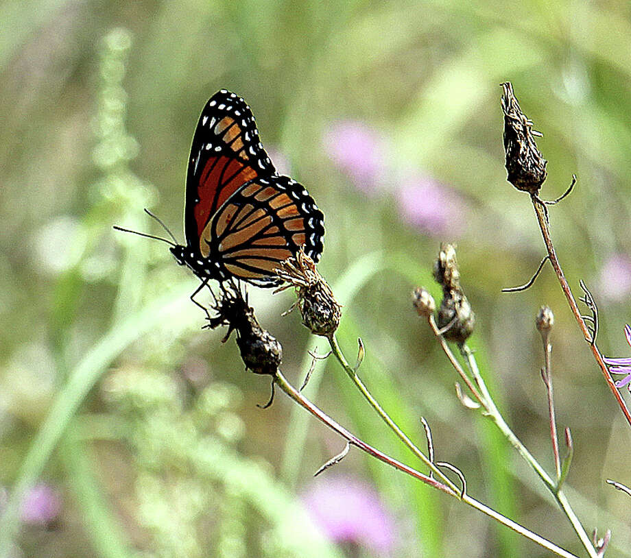 The Huron County Master Gardeners are hosting a presentation on Monarch Butterflies Thursday at the Bad Axe Area District Library. Photo: Tribune File Photo