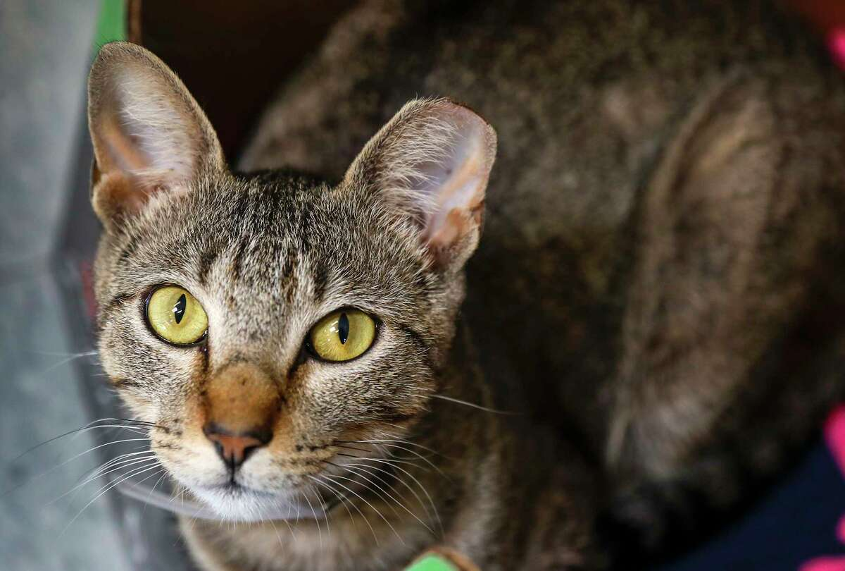 Joy is a 2-year-old, female, grey tabby DSH cat available for adoption at the BARC Animal Shelter, in Houston. (Animal ID: A1632821) Photographed Tuesday, June 18, 2019. Joy was found on the BARC property as a stray, and was TNR'd (trap, neuter, returned) onto the property (which is why her left ear is tipped. Joy was very friendly, and wanted to come inside, so the staff thought she would make a great indoor cat. She gets along with cats and people.