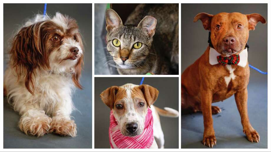 Ariel (left: A1632421) is a 2-year-old, female, Shih Tzu mix; Joy (top: A1632821) is a 2-year-old, female cat; Xia (bottom: A1630255 is a 4-month-old, female, Chinese Sharpei mix; and Frank (right: A1620041) is a 5-year-old, male, brindle American Staffordshire mix. All are available for adoption at the BARC Animal Shelter, in Houston. Photographed Tuesday, June 18, 2019. Photo: Karen Warren, Staff Photographer / © 2019 Houston Chronicle