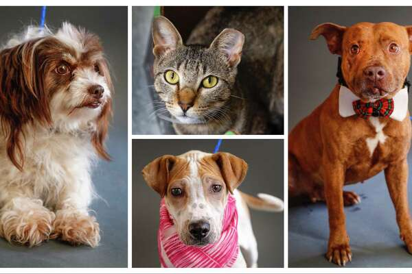 Ariel (left: A1632421) is a 2-year-old, female, Shih Tzu mix; Joy (top: A1632821) is a 2-year-old, female cat; Xia (bottom: A1630255 is a 4-month-old, female, Chinese Sharpei mix; and Frank (right: A1620041) is a 5-year-old, male, brindle American Staffordshire mix. All are available for adoption at the BARC Animal Shelter, in Houston. Photographed Tuesday, June 18, 2019.