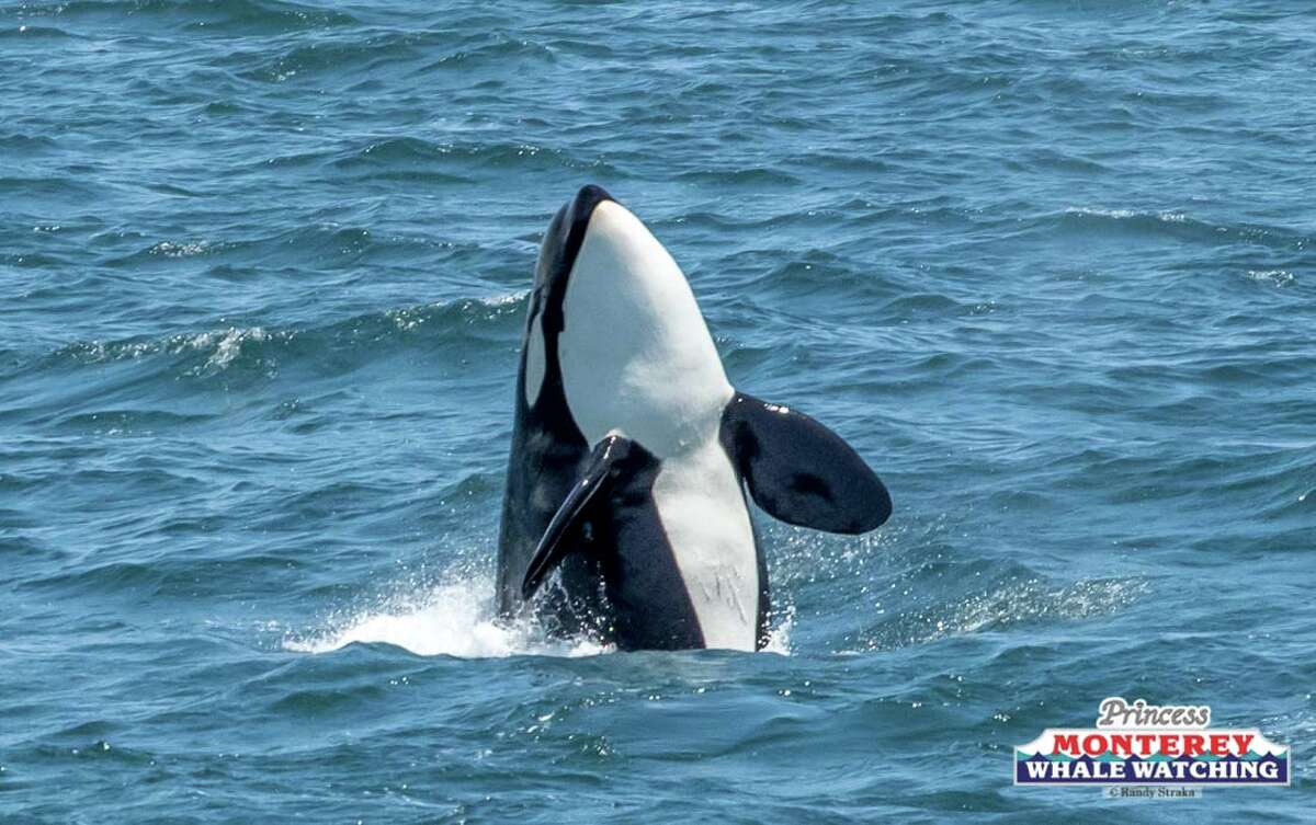 A pod of transient killer whales from the Pacific Northwest was seen for the first time ever in Monterey Bay on June 17, 2019.