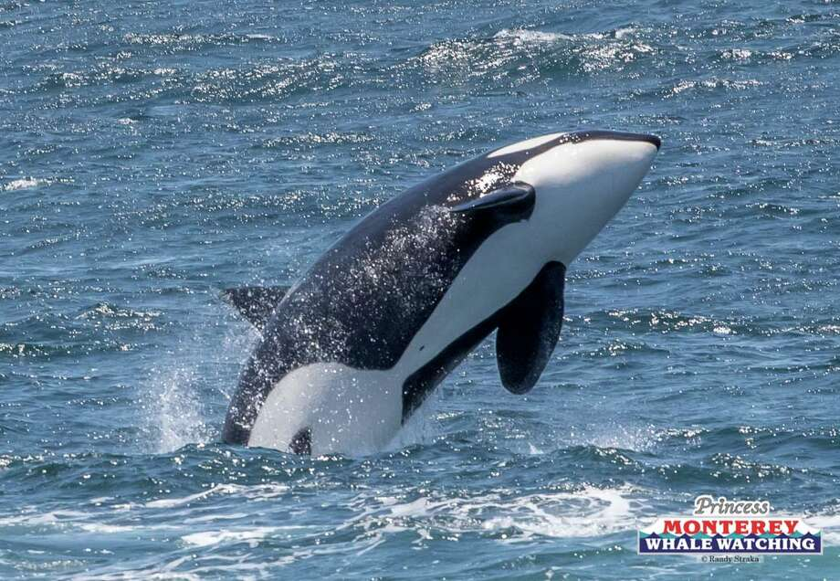 A pod of transient killer whales from the Pacific Northwest was seen for the first time ever in Monterey Bay on June 17, 2019. Photo: Randy Straka, Randy Straka / Princess Monterey Whale Watching / Randy Straka