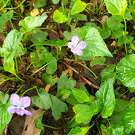 These are wild violets. Some people consider them a weed, others a beautiful wildflower.