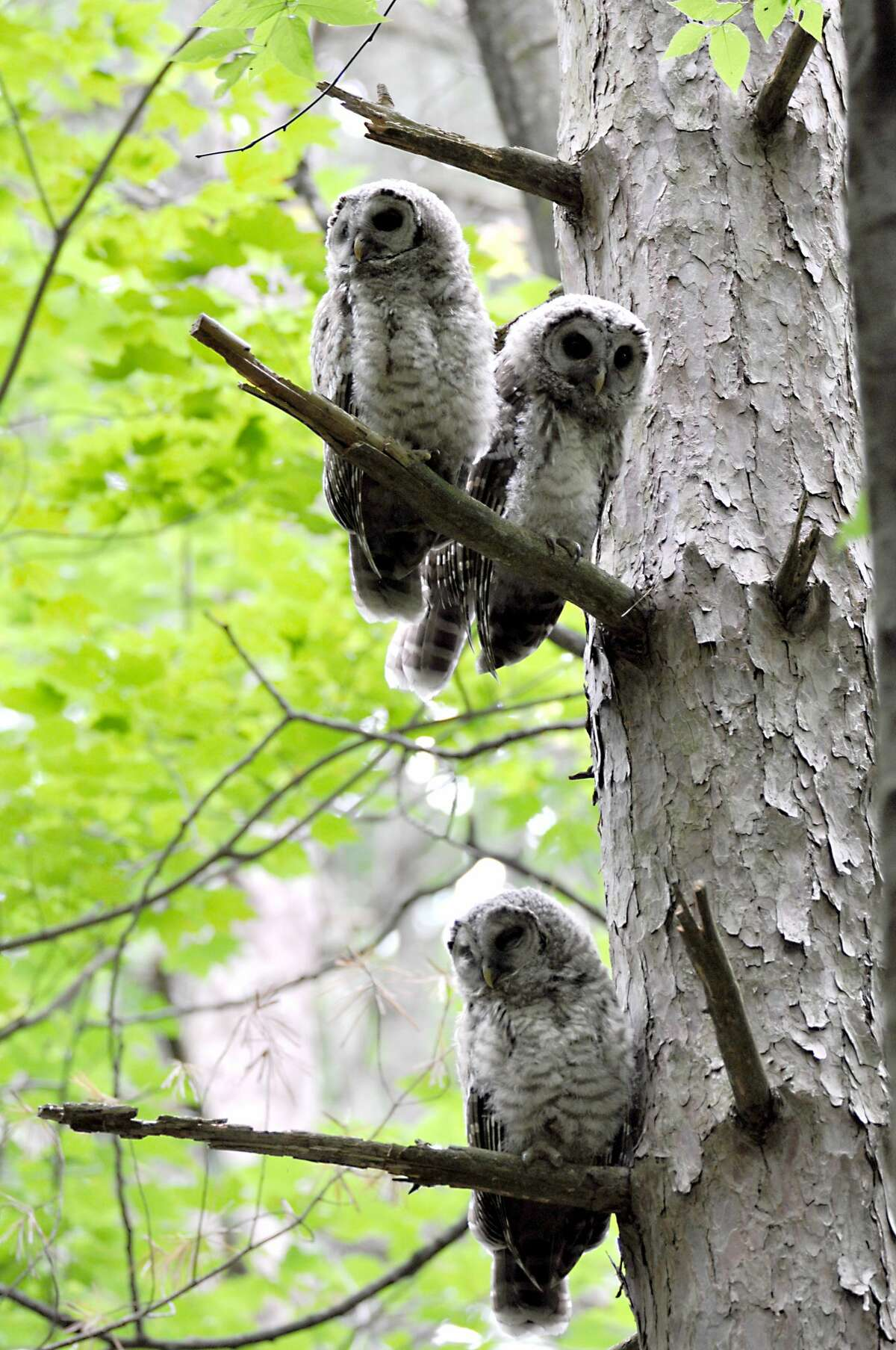 A family of owls hangs out in Clifton Park's Kinns Road Park on Wednesday, June 19, 2019. Three owlets waited patiently with an occasional begging call for mom to deliver breakfast. She arrived and they responded in spectacular fashion. (Joyce Bassett / Times Union)