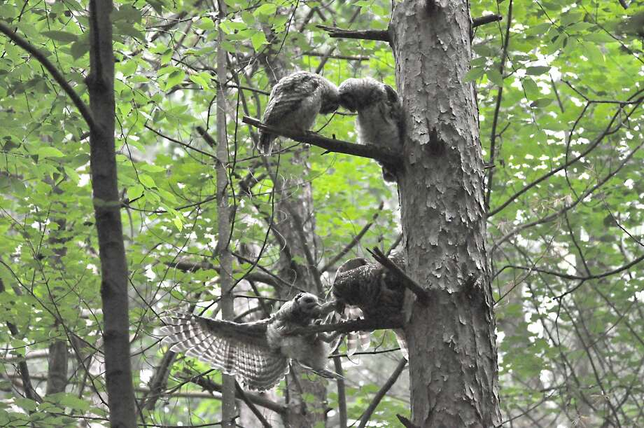 A family of owls hangs out in Clifton Park's Kinns Road Park on Wednesday, June 19, 2019. Three owlets waited patiently with an occasional begging call for mom to deliver breakfast. She arrived and they responded in spectacular fashion. (Joyce Bassett / Times Union) Photo: Joyce Bassett / Times Union