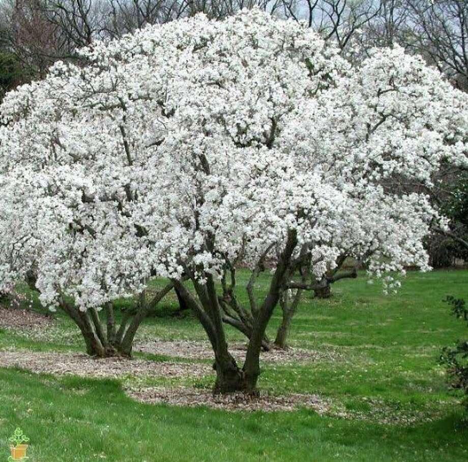 Tree Conservancy Of Darien Holding Magnolia Tree Sale Darien Times