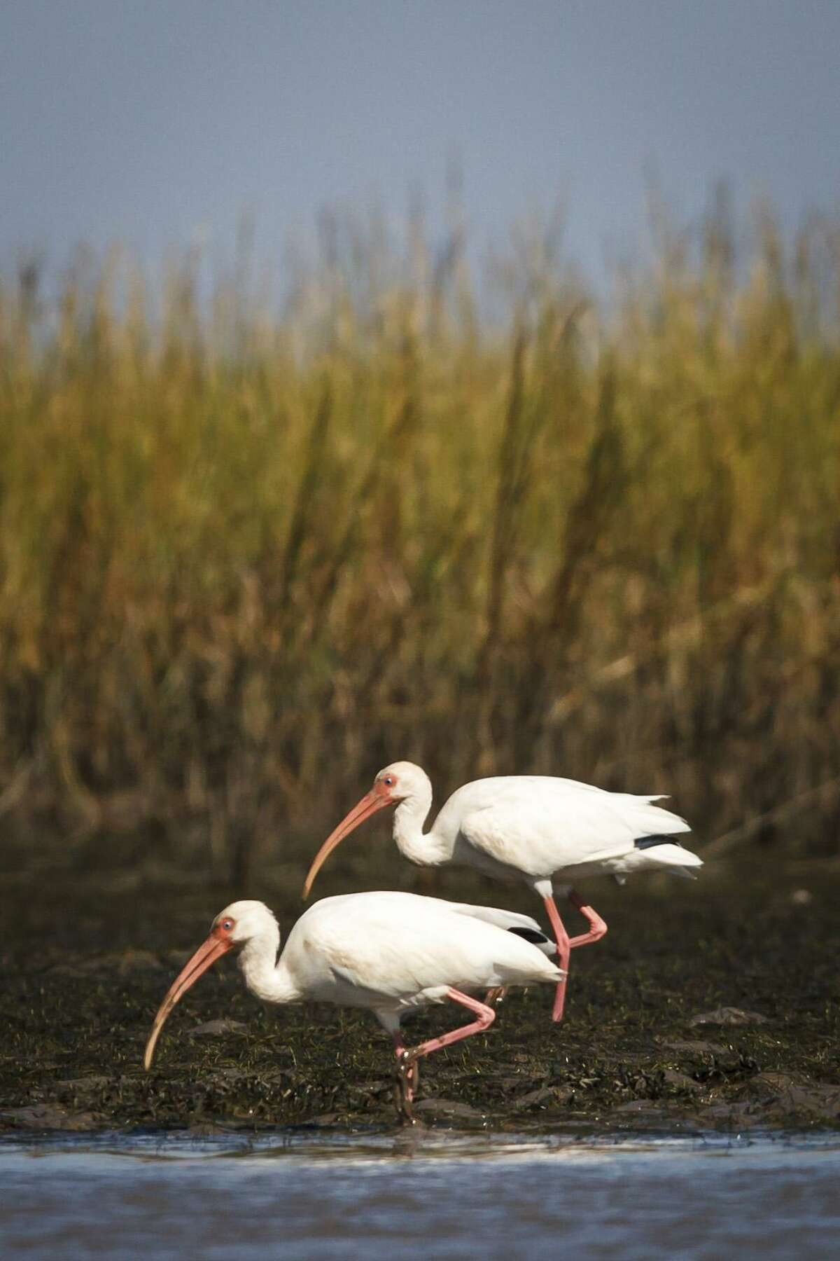 White Ibis search for food while kayakers paddle by.