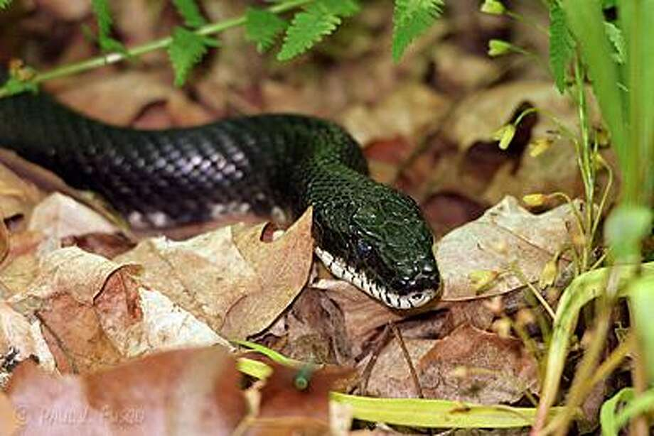 The eastern ratsnake (previously known as the black ratsnake) is Connecticut's longest snake. Adults can range in size between 46 and 68 inches. Photo: Connecticut Department Of Energy And Environmental Protection Photo