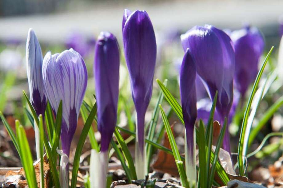 Crocuses appeared as the first sign of spring — Laureen Vellante photo / © Laureen Vellante