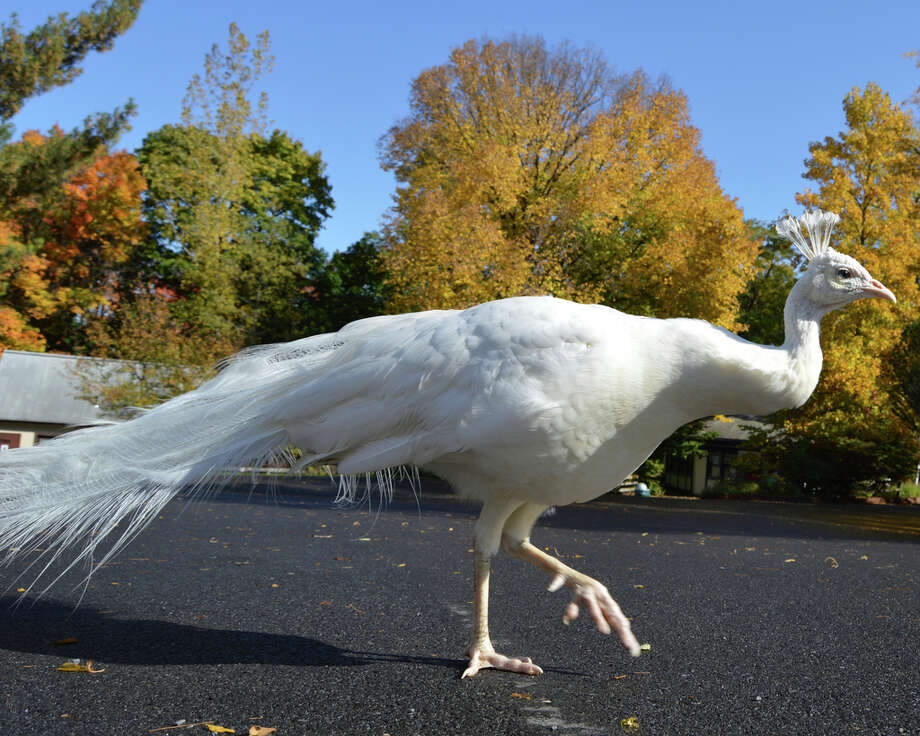 In this October 2016 photo provided by the Utica Zoo, a white peacock named Merlin walks at the zoo in Utica, N.Y. The peacock at the upstate New York zoo was killed by a lion after it flew over a fence into the African Lion enclosure. Utica Zoo officials said Merlin was captured by a lion Wednesday morning, June 19, 2019, after being unable to fly back out of an exhibit with three lions. Photo: AP / Utica Zoo