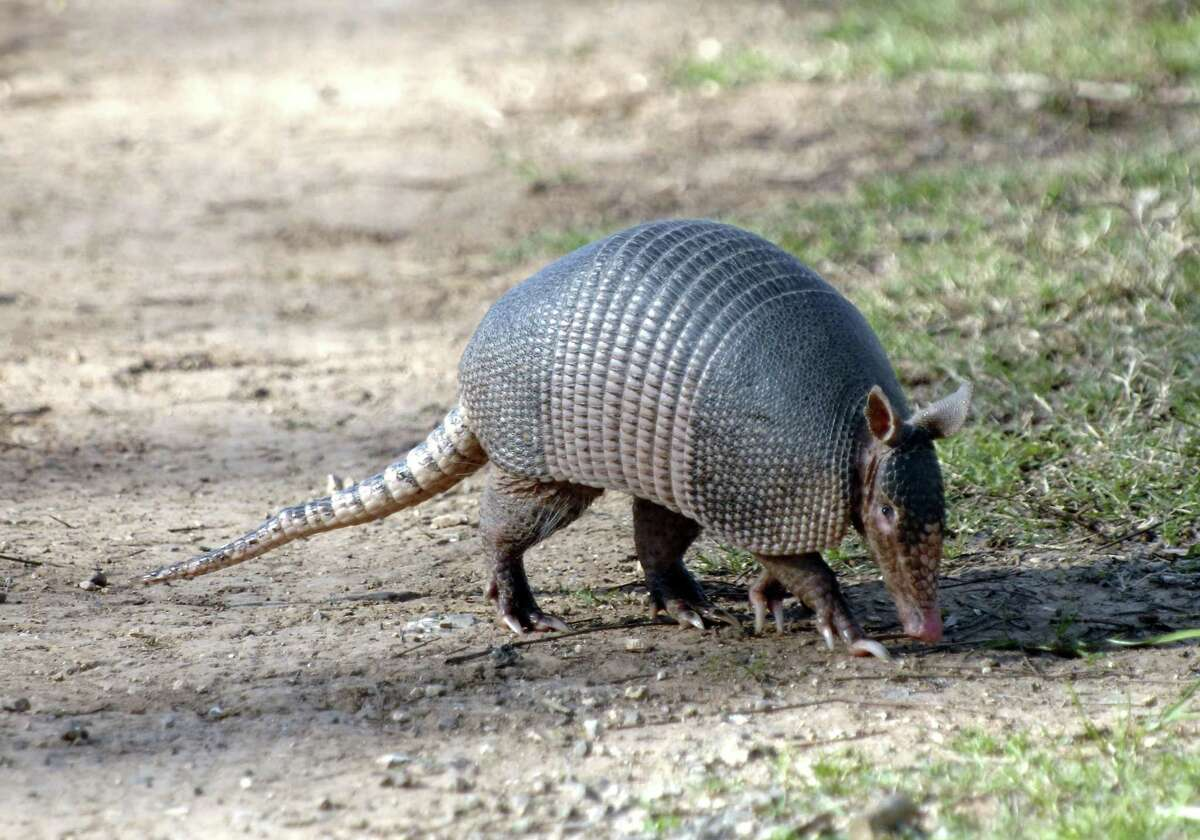 Unpopular opinion maybe: Armadillos. the official small mammal of Texas, are extremely cute.