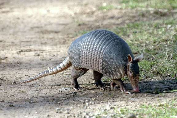 The official small mammal of Texas will be in action at the city of Deer Park's Fourth of July celebration, which will feature armadillo races at the Jimmy Burke Jimmy Burke Activity Center.