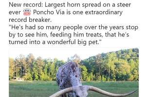 New record: Largest horn spread on a steer ever