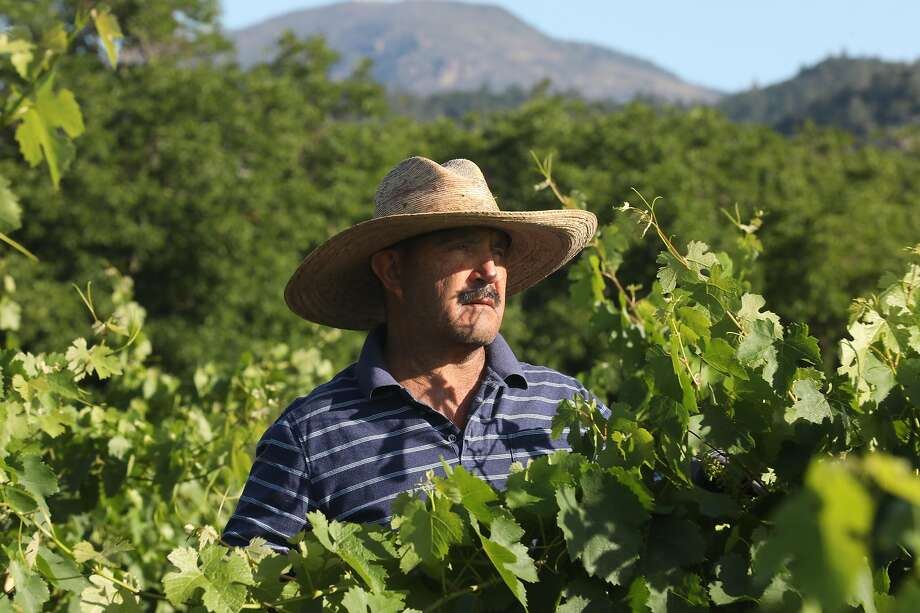 Jesus Abina, who has worked at Tofanelli Vineyard for 20 years, trims leaves from Charbono vines. Photo: Liz Hafalia / The Chronicle