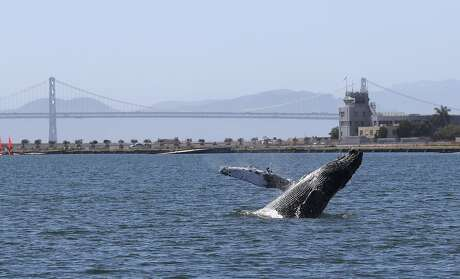 ALAMEDA, CALIFORNIA - JUNE 04: A humpback whale breaches in a lagoon on June 04, 2019 in Alameda, California. Scientists are concerned about the whale, which has been swimming in a lagoon off the San Francisco Bay for over a week. According to the Marine Mammal Center, the whale appears to be unhealthy and is likely malnourished. (Photo by Justin Sullivan/Getty Images)
