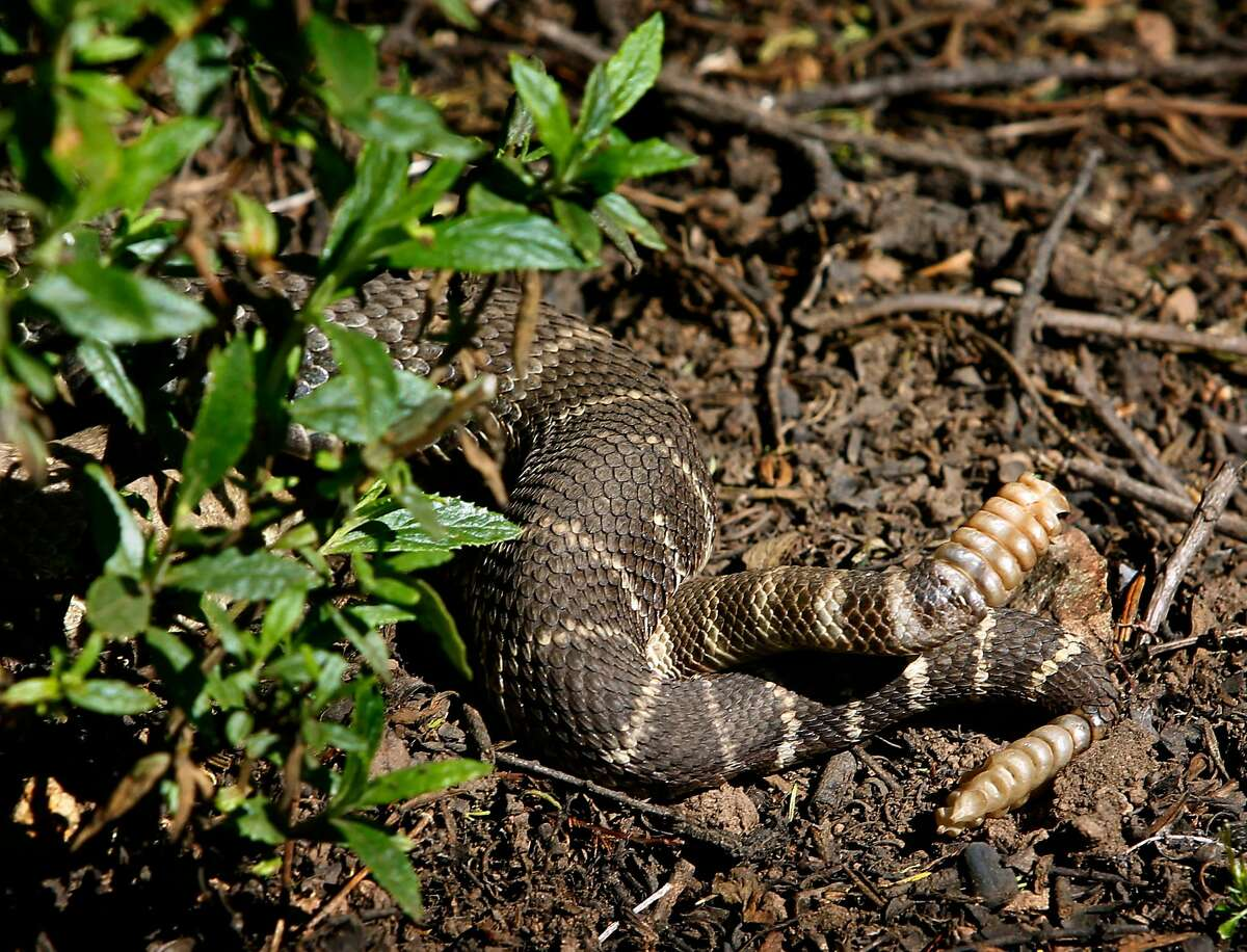 Two rattlesnakes have an intimate encounter along a trail at Edgewood County Park in Redwood City, Calif. on Friday, April 1, 2011.