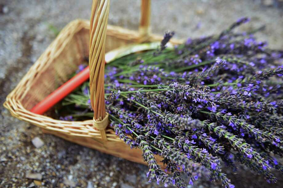 Fresh-picked lavender Photo: Catherine Avalone / Catherine Avalone/New Haven Register
