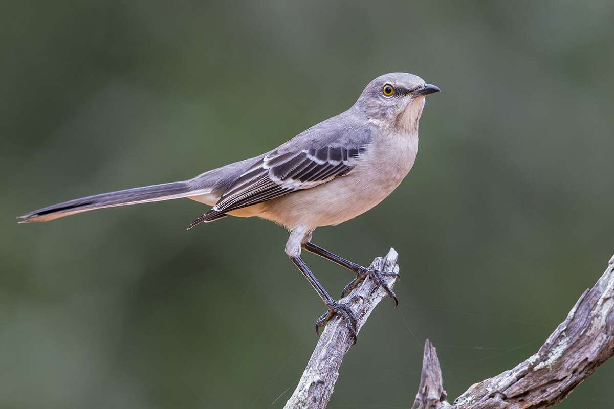 The northern mockingbird has a distinctive voice no matter which of its 200 melodies it is singing.